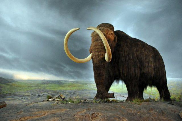 Gambar Woolly Mammoth Nama Hewan Dari Huruf W