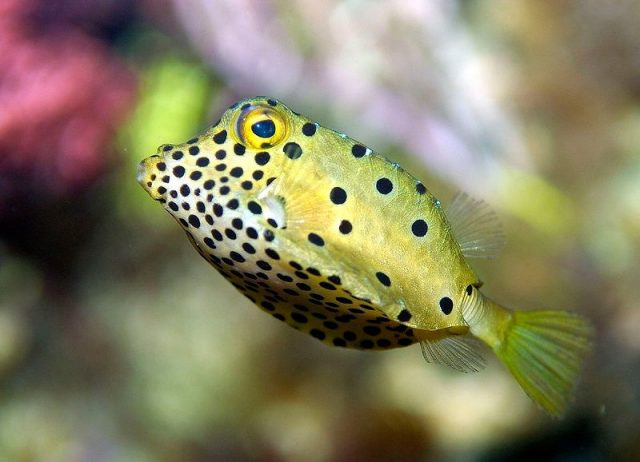 Gambar Ikan Hias Air Laut Yellow boxfish