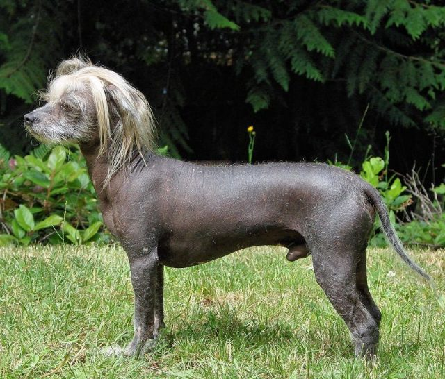 Jenis Anjing Chinese Crested