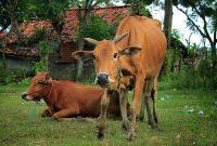 jenis jenis sapi di indonesia, Sapi Madura