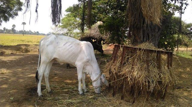 jenis jenis sapi di indonesia, Sapi Ongole