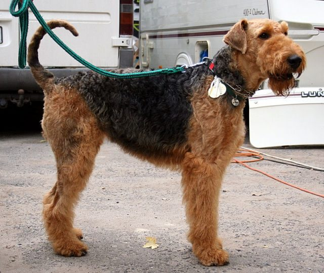 Jenis Anjing Terrier Airedale