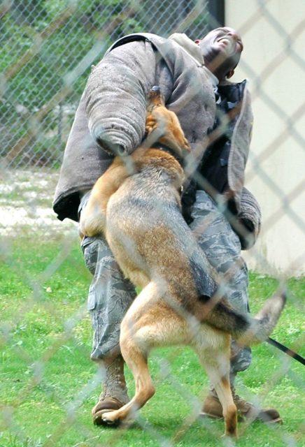 German Shepherd - Jenis-Jenis Anjing Berbahaya