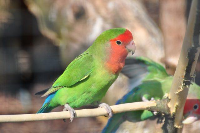Gambar Lovebird Muka Salem Dan jenis burung lovebird dan harga terbaru
