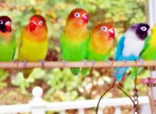 GambarJenis Burung Lovebird Dan Harga Terbaru