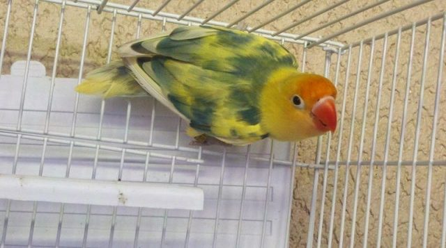 Gambar Lovebird Blorok Dan jenis burung lovebird dan harga terbaru