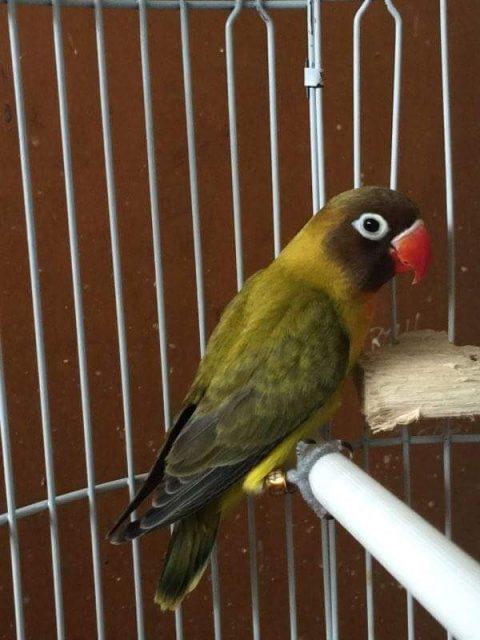 Gambar Lovebird Euwing Dan jenis burung lovebird dan harga terbaru