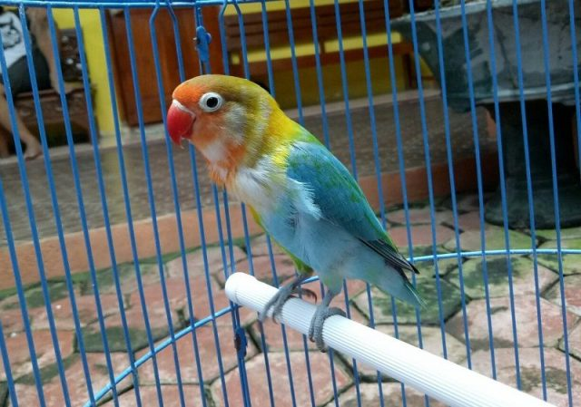 Gambar Lovebird Halfsider Dan jenis burung lovebird dan harga terbaru