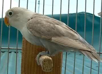 Gambar Lovebird Mocca Mauve Dan jenis burung lovebird dan harga terbaru