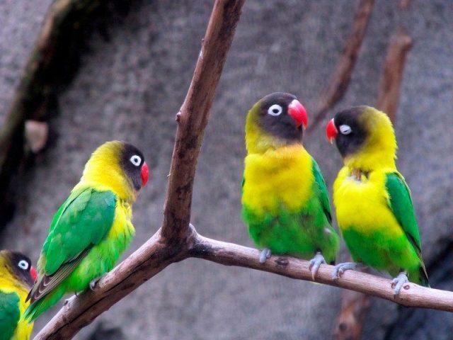 Gambar Lovebird Topeng ( mascotarios ) Dan jenis burung lovebird dan harga terbaru
