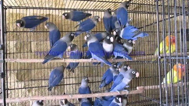 Gambar Lovebird Violet Dan jenis burung lovebird dan harga terbaru