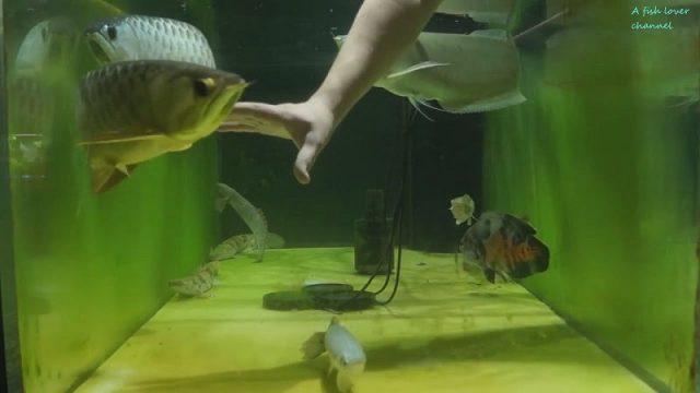 Gambar Apa Ciri Ciri Ikan Arwana Lapar