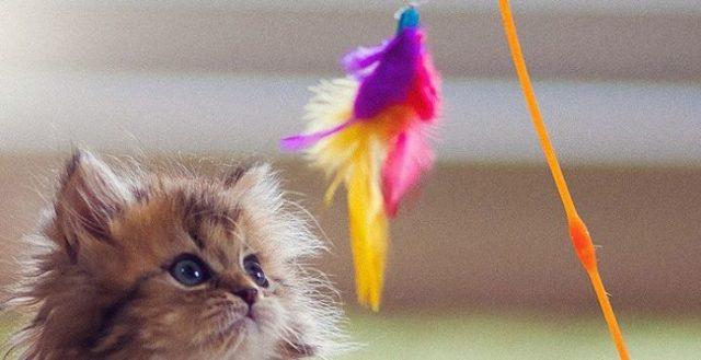 Gambar Cara Menjinakan Kucing Liar Dengan Mengajaknya Bermain Dengan Bulu
