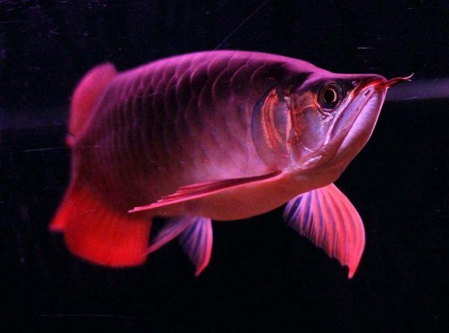 Gambar Ciri Ciri Ikan Arwana Lapar