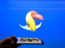 Gambar Ciri Ciri Ikan Arwana Lapar Banget