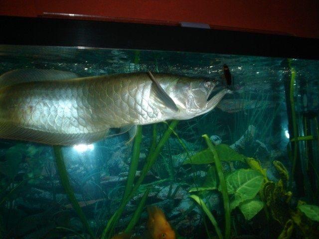Gambar Makanan Ikan Arwana Silver