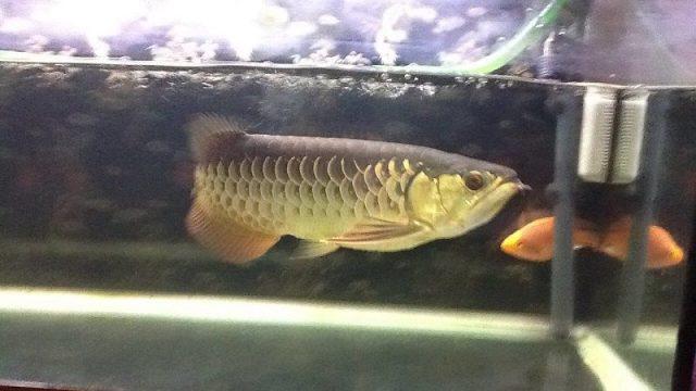 Gambar Arwana Golden Red atau Red-Tail Golden Arwana