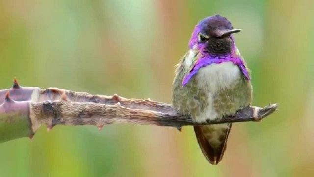 Gambar Jenis Burung Kecil Burung Costa's hummingbird