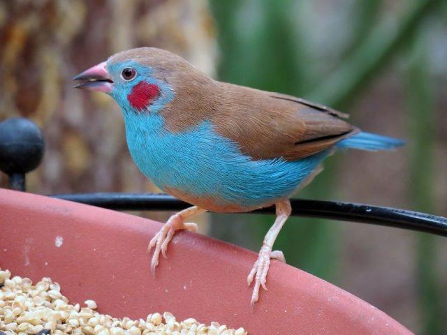Gambar Jenis Burung Kecil Burung Red-cheeked cordon-bleu