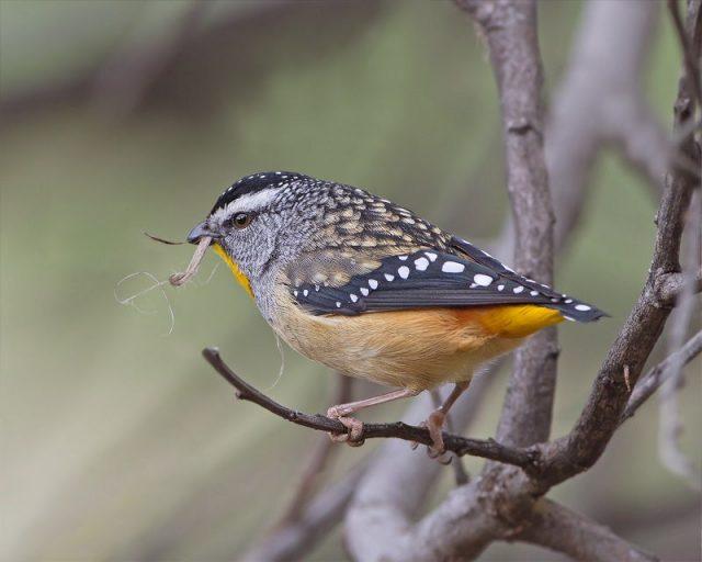 Gambar Jenis Burung Kecil Spotted pardalote