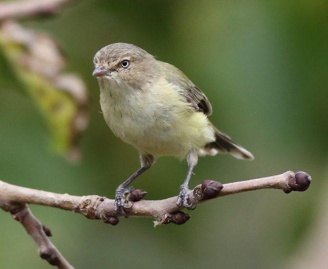 Gambar Jenis Burung Kecil Burung Weebill