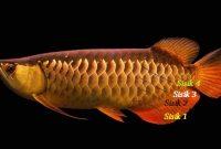 Gambar Ciri Ciri dan Harga Ikan Arwana Golden Red