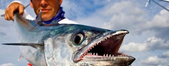 Gambar Ikan Tenggiri - Ciri Ciri Ikan Tenggiri Tubuh Memanjang