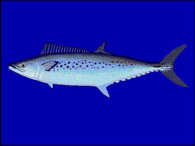 Gambar Ikan Tenggiri - Tenggiri Australia ( Scomberomorus munroi )