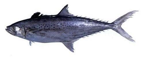 Gambar Ikan Tenggiri - Tenggiri Korea ( Scomberomorus koreanus )