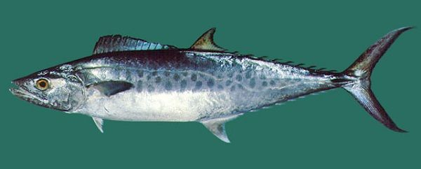 Gambar Ikan Tenggiri - Tenggiri papan ( Scomberomorus guttatus )