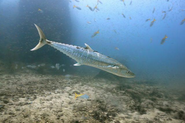 Gambar ikan tenggiri - Tenggiri Melayu ( Scomberomorus commerson )