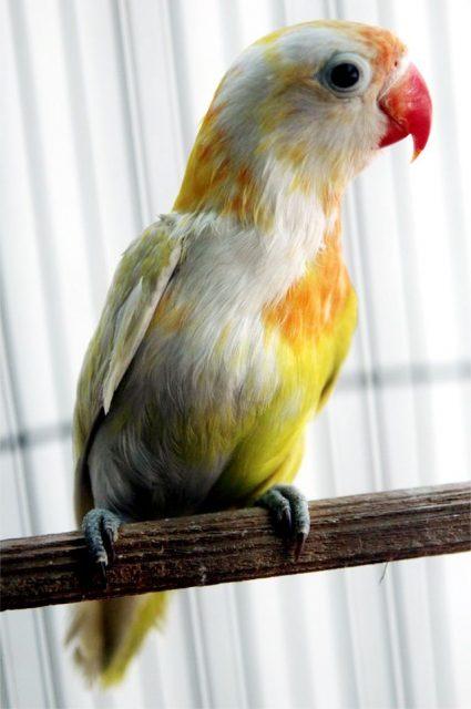 Gambar Jenis Burung Lovebird Termahal di Indonesia
