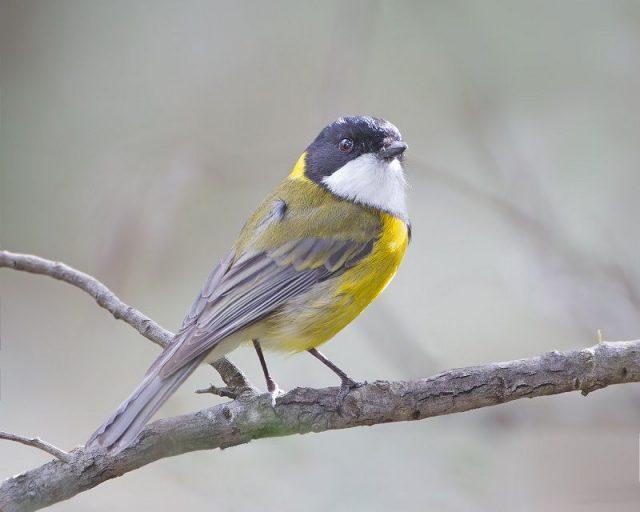 Gambar Burung Kecil Suara Keras Kancilan Emas