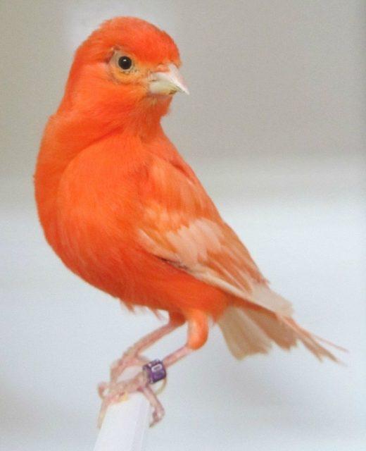 Gambar Nama Burung Kecil Kenari