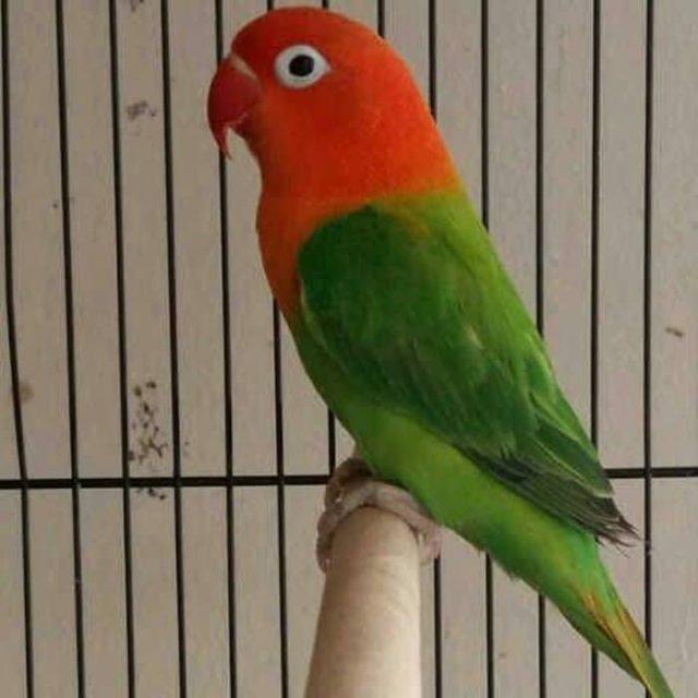 Gambar Jenis Burung Lovebird Termahal - Lovebird Biola