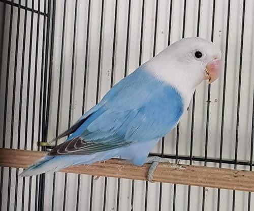 Gambar Jenis Burung Lovebird Termahal - Lovebird Biola Blue