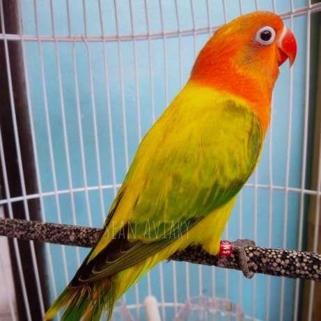 Gambar Jenis Burung Lovebird Termahal - Lovebird Biola Euwing