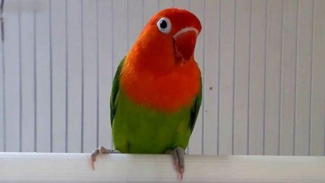 Gambar Jenis Burung Lovebird Termahal - Lovebird Biola Green