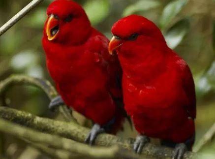 Gambar Jenis Burung Lovebird Termahal - Lovebird Merah