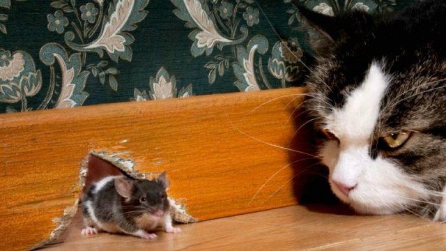 Gambar Memelihara Kucing Untuk Mengusir Tikus