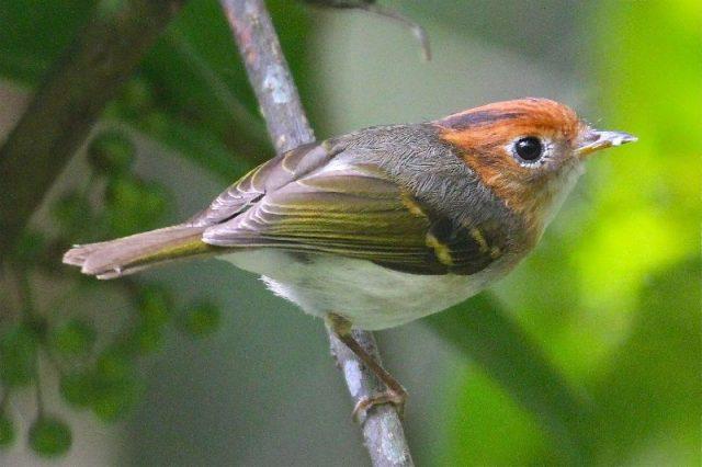 Gambar Nama Burung Kecil Prenjak