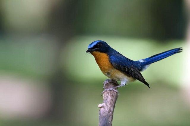 Gambar Nama Burung Kecil Tledekan