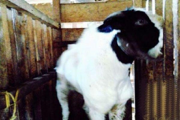 Gambar kambing boerawa dan Jenis Kambing di Indonesia