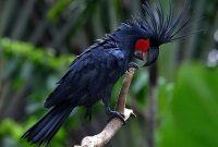 Gambar Black Palm Cockatoo Burung Termahal Di Dunia