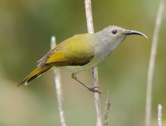 Burung Madu Ekor Api ( Fire-tailed sunbird ) Jenis Betina