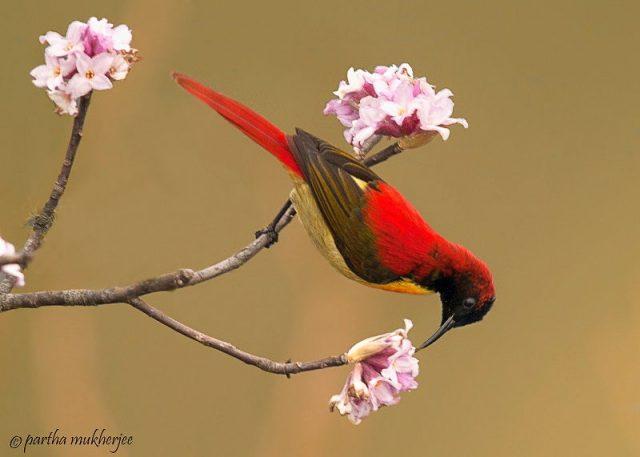 Burung Madu Ekor Api ( Fire-tailed sunbird ) Jenis Ekor Panjang