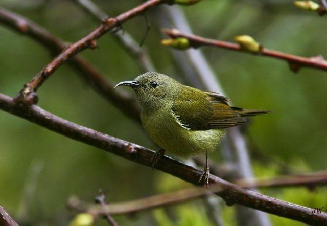 Burung Madu Ekor Hijau Betina