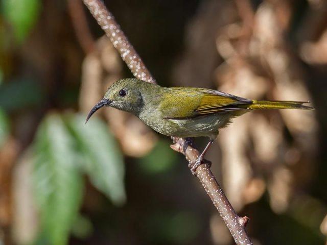 Burung Madu Ekor Hijau ( Green-tailed sunbird ) Betina