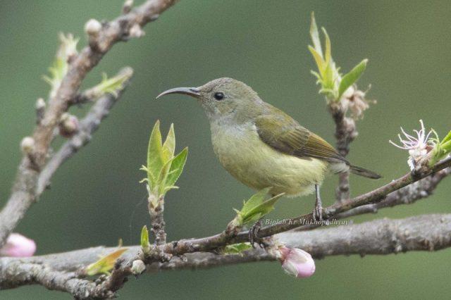 Burung Madu Ekor Hijau ( Green-tailed sunbird ) Jenis Betina