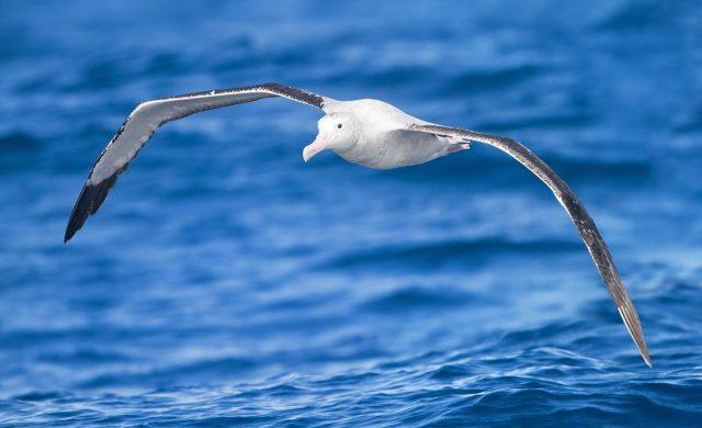 Gambar Burung Terbesar Di Dunia Wandering albatross ( Diomedea exulans )